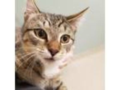 Adopt Hilda a Brown or Chocolate Domestic Shorthair / Domestic Shorthair / Mixed