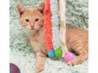 Adopt Cheddar a Orange or Red Domestic Shorthair / Domestic Shorthair / Mixed