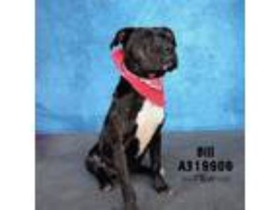 Adopt BILL a Staffordshire Bull Terrier, Mixed Breed