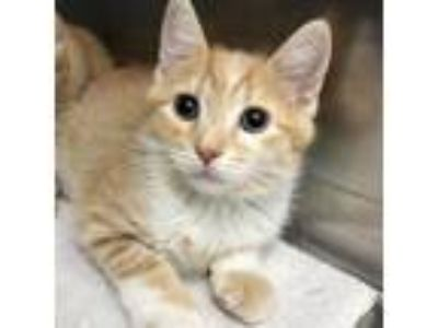 Adopt Aberforth a Orange or Red Domestic Shorthair / Domestic Shorthair / Mixed