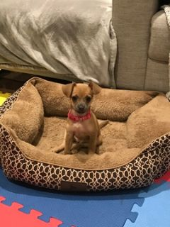 Chihuahua PUPPY FOR SALE ADN-101517 - 13 Week old Chihuahua Puppy for Sale