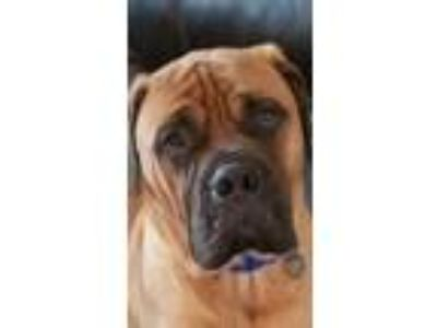 Adopt CO - Chance a Bullmastiff