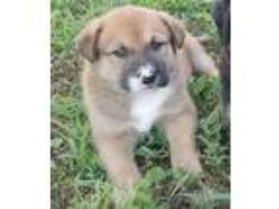 Adopt Patch a Shepherd (Unknown Type) / Mixed dog in Little Rock, AR (25370498)