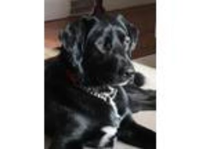 Adopt Toby Local CT Gorgeous Boy a Black Labrador Retriever / Flat-Coated