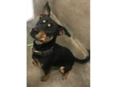 Adopt Baby G a German Pinscher / Pit Bull Terrier / Mixed dog in Warrensburg