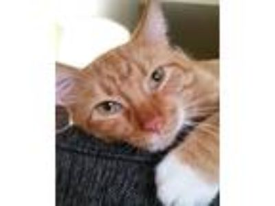 Adopt Maui a Orange or Red Domestic Shorthair / Mixed cat in Fort Wayne