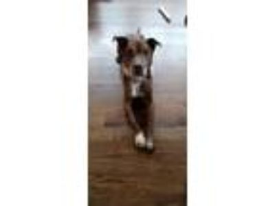 Adopt Statler a American Staffordshire Terrier