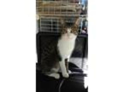 Adopt Thor a Tiger Striped Domestic Shorthair (short coat) cat in Dale City