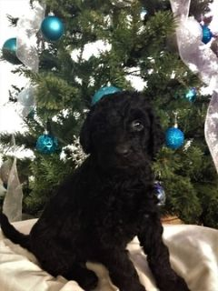 Goldendoodle PUPPY FOR SALE ADN-106654 - F1b Goldendoodle Puppies Available in time for Chr