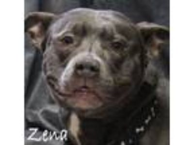 Adopt Zena a Staffordshire Bull Terrier