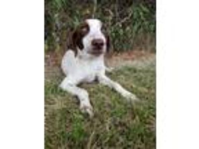Adopt Joe a German Shorthaired Pointer, English Springer Spaniel