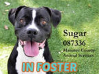 Adopt SUGAR a Black - with White Boxer / Mixed dog in Palmetto, FL (22450417)