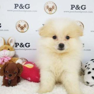 Pomeranian PUPPY FOR SALE ADN-95732 - POMERANIAN LEO MALE