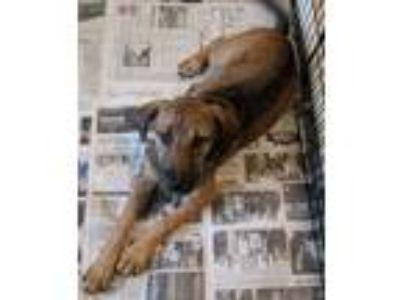 Adopt Lacey in TN a Tan/Yellow/Fawn - with Black German Shepherd Dog / Labrador