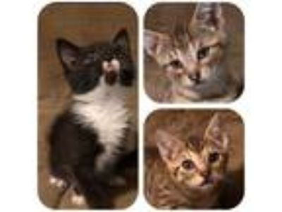Adopt 9 week old kittens a Gray or Blue (Mostly) American Shorthair (short coat)