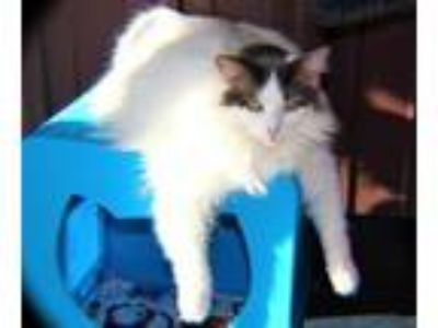 Adopt Dina a Domestic Long Hair
