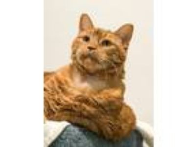 Adopt Destiny a Domestic Shorthair / Mixed cat in Ledgewood, NJ (24778015)