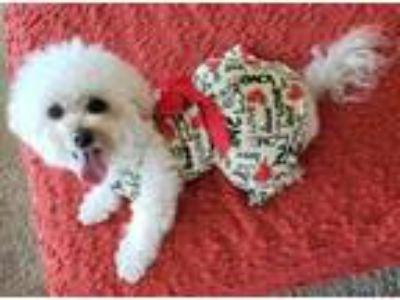 Adopt Sofia a Bichon Frise, Poodle