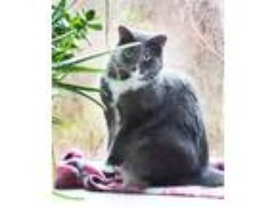 Adopt Wynnie a Gray or Blue (Mostly) Domestic Longhair (long coat) cat in