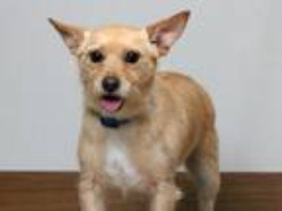 Adopt Tay (and Olivia) - Bonded Pair D190839 a Terrier