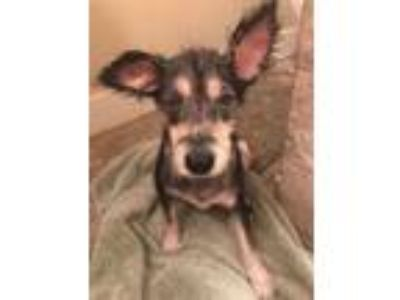 Adopt Baby a Black - with Tan, Yellow or Fawn Schnauzer (Miniature) / Terrier