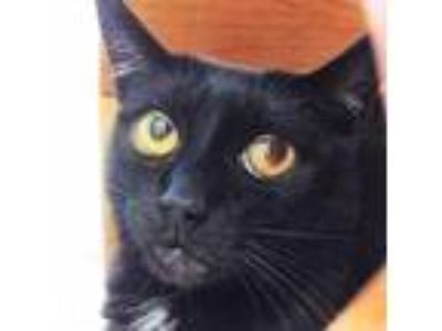 Adopt Anna a All Black Domestic Shorthair / Domestic Shorthair / Mixed cat in