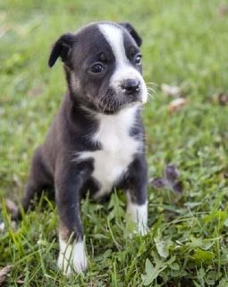 Welcoming Boston terrier puppies ready