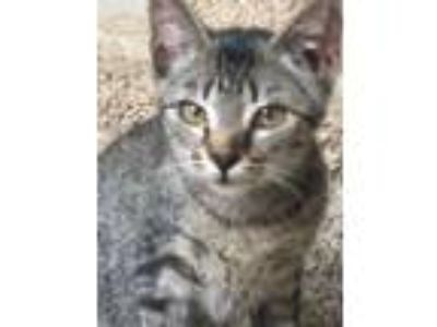 Adopt Jack a Spotted Tabby/Leopard Spotted Calico cat in Providence Village