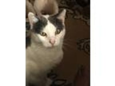 Adopt Milo a Black & White or Tuxedo Domestic Shorthair cat in Birmingham