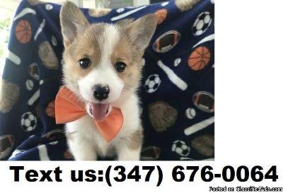 TYHIC B/G Pembroke Welsh Corgi Puppies For Sale