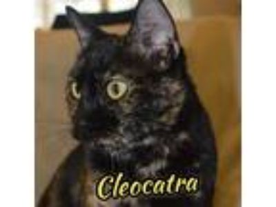 Adopt Cleocatra a Tortoiseshell Calico (short coat) cat in Orlando