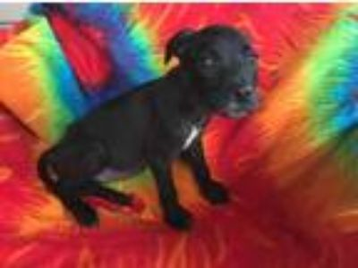 Adopt Isaac (Fostered in TN) a Black Labrador Retriever / Pit Bull Terrier /