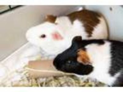 Adopt Bullet Bill a Black Guinea Pig / Guinea Pig / Mixed small animal in