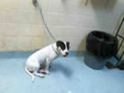 Adopt CARBONE a White - with Black American Pit Bull Terrier / Mixed dog in