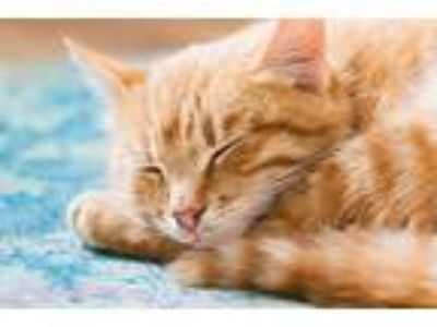 Adopt Addison a Orange or Red Tabby Domestic Shorthair (short coat) cat in