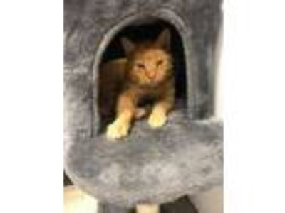Adopt Crimson a Domestic Short Hair