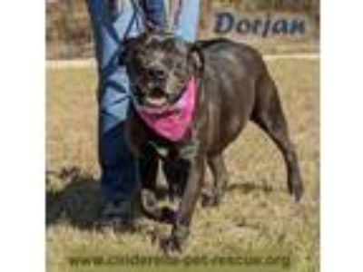 Adopt Dorjan a Black - with White Pit Bull Terrier / Staffordshire Bull Terrier