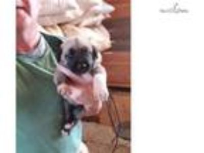 UKC Purebred Kangal Dog Puppies for Sale