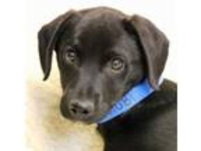 Adopt Panther a Black Labrador Retriever / Mixed dog in Wenatchee, WA (25341025)