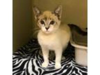 Adopt June a White (Mostly) Siamese cat in Los Angeles, CA (25871983)