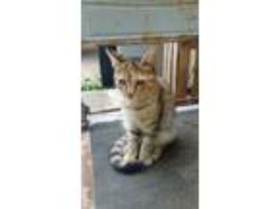 Adopt kitten a Gray, Blue or Silver Tabby Domestic Shorthair / Mixed cat in