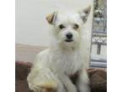 Adopt LOUIE a White - with Tan, Yellow or Fawn Terrier (Unknown Type