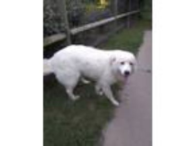 Adopt Bianco Foster Needed 6/22 a Great Pyrenees