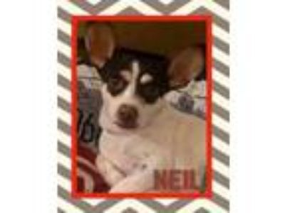 Adopt Neil a Tricolor (Tan/Brown & Black & White) Rat Terrier / Mixed dog in El
