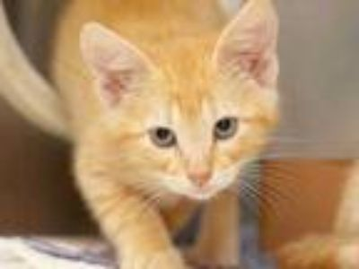 Adopt Scooby a Orange or Red Domestic Shorthair / Domestic Shorthair / Mixed cat