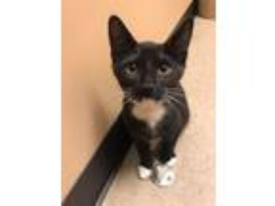 Adopt Danish( PetValu Sicklerville) a Domestic Short Hair