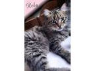 Adopt Reba a Maine Coon, Domestic Long Hair