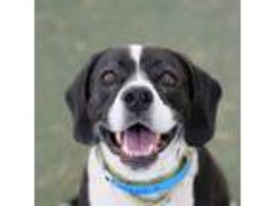 Adopt *CHIEF a Black - with White Plott Hound / Mixed dog in Las Vegas