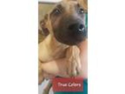 Adopt True Colors a Belgian Shepherd / Malinois, Black Mouth Cur