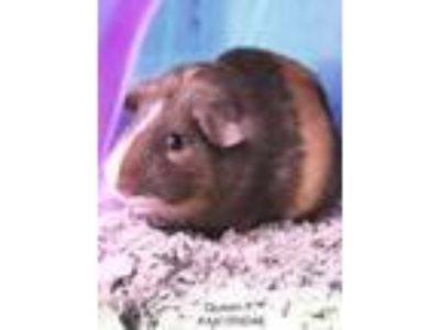Adopt Queen P. a Tan or Beige Guinea Pig / Mixed small animal in Wilkes Barre